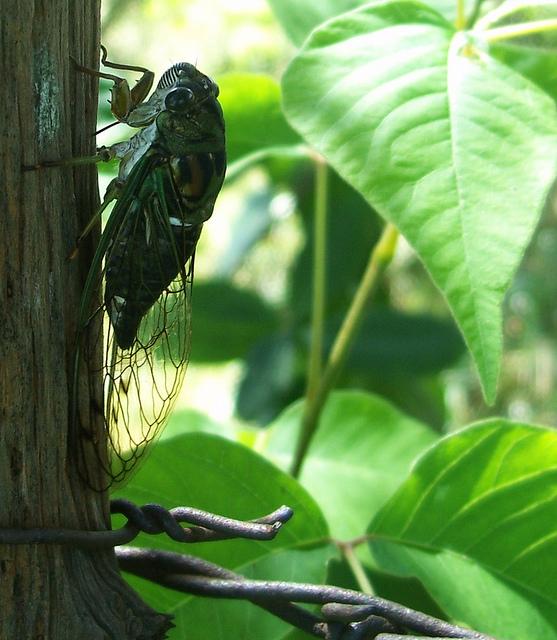cicada-on-post