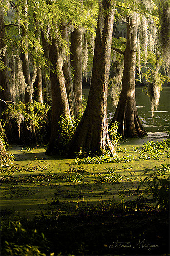 Cypress trees.jpg