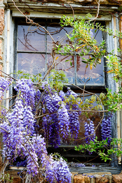 Wisteria & old house