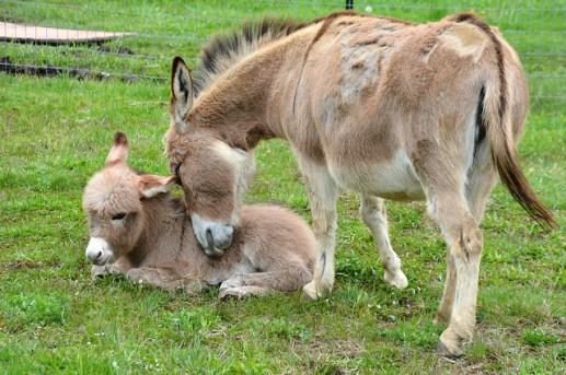 Jerusalem donkeys